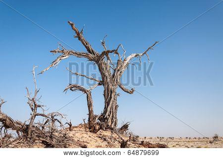 Dead Tree In Oman Desert (oman)