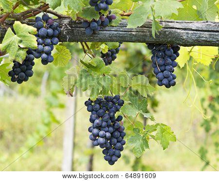Vineyard grape cluster. Barbera