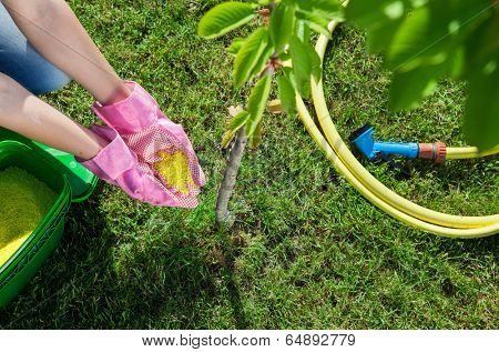 Woman gardener fertilizing young cherry tree, gardening concept