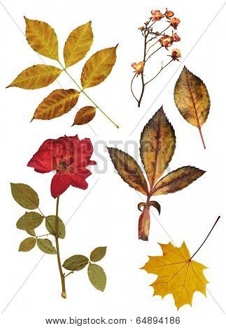 Collection of dried roses and leaves for scrapbooking design. Isolated on white background