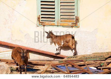 Tibetan Goats