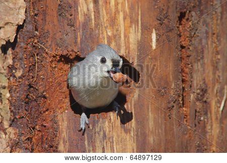 Titmouse On A Stump