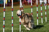 Golden Retriever, dog agility