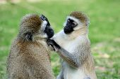 stock photo of omnivores  - Three Cape Vervet Monkeys in the National park - JPG