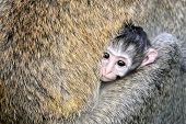 picture of baby-monkey  - Baby Vervet Monkeys in the National park - JPG