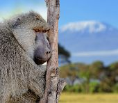 foto of anubis  - Young olive baboon in nature Kenya daytime - JPG