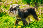 stock photo of long beard  - Small Miniature Schnauzer Dog  - JPG