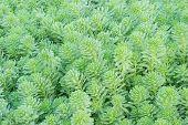 picture of green algae  - green algae in garden - JPG