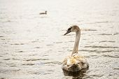 image of trumpeter swan  - Swan in the wild - JPG
