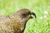 stock photo of omnivore  - Nestor Notabilis - JPG