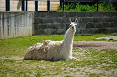 foto of lamas  - Lama living in captivity in a zoo - JPG