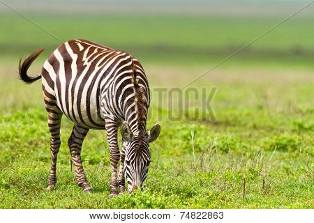 Zebra in Ngorongoro conservation area, Tanzania