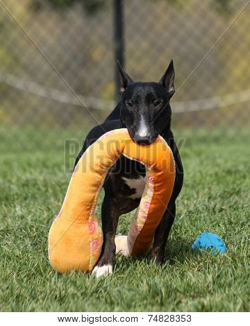 Bull Terrier dragging his toy