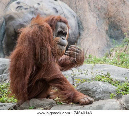 Orangutan Peeking At Crowd