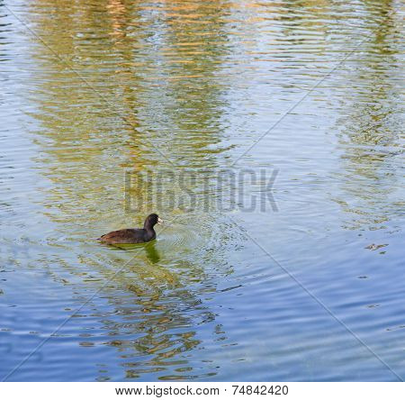 quacking duck in rippling reflective lake