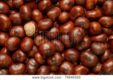 Hundreds of Conkers or Horse chestnut