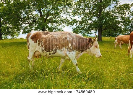 Brown Cow Walking On The Field