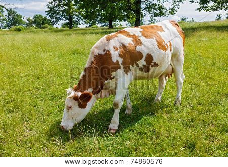 Piebald Cow Grazing On The Field