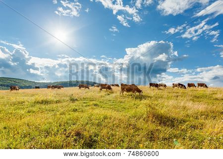 Herd Of Cows Grazing On Sunny Field