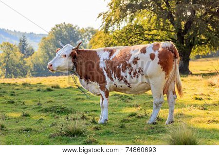 Brown Cow Near The Forest