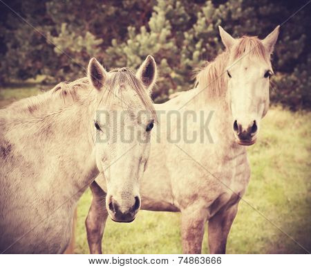 Retro Style Picture Of Two Young Horses.