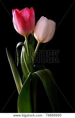 Blooming tulip with black background