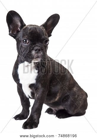 Small Dog French Bulldog