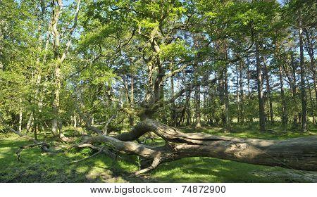 Fallen Tree In Forest Glade
