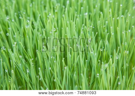 Young Wheat Plants