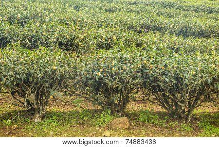 Three Tea Trees