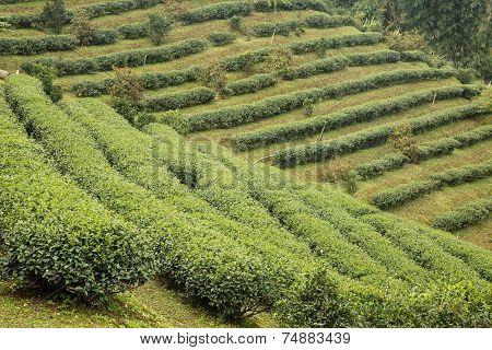 Tea Plantation