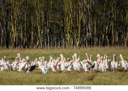 Pelicans In Front Of Yellow Acacia Forest