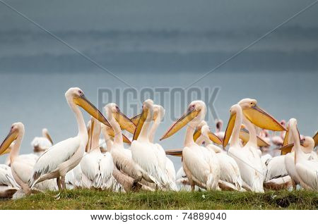 Pelicans At The Lake