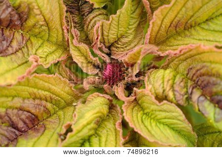 Amaranth Plant Close-Up
