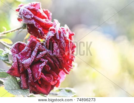 Frozen Roses In Garden