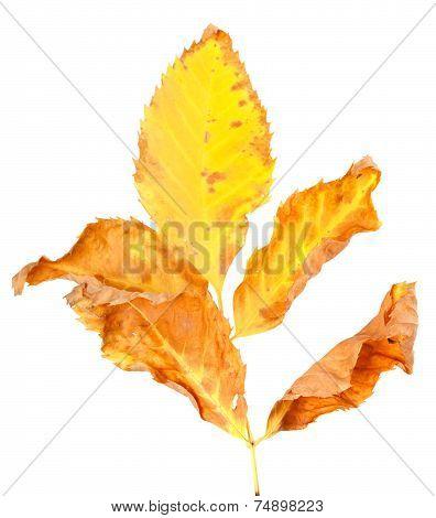 Dry Yellowed Autumn Leaf