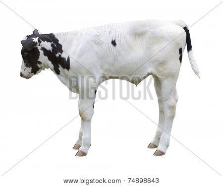 calf on white background