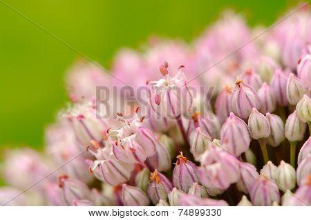Garlic Flowers Macro