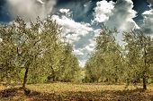 stock photo of cultivation  - Beautiful fresh olives garden - JPG