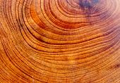 pic of juniper-tree  - the structure of the wood of the juniper - JPG