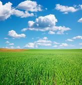image of cumulus-clouds  - Fresh green wheat field and blue cloudy sky with cumulus clouds - JPG