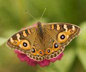 Australian Butterfly Meadow Argus Junonia Villida Brown