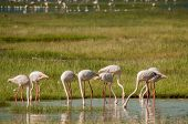 picture of sub-saharan  - Eight lesser flamingos all with their heads in the water as they are feeding in the shallow waters of Lake Nakuru in Kenya. ** Note: Soft Focus at 100%, best at smaller sizes - JPG