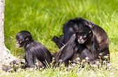 picture of baby spider  - A group of spider monkeys on the ground - JPG