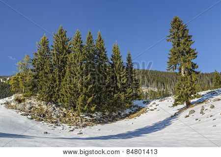 Fir Trees Clump
