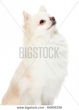 Pomeranian dog look up