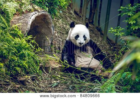 Giant panda relaxing