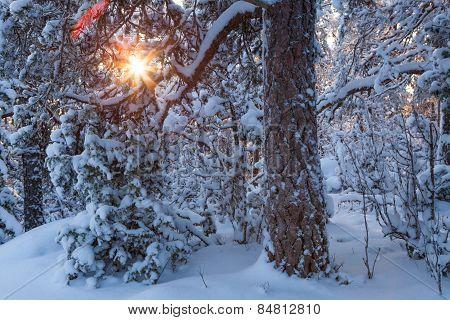 Sun shining through snowcapped trees