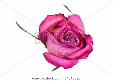 One Dry Rose  Flower