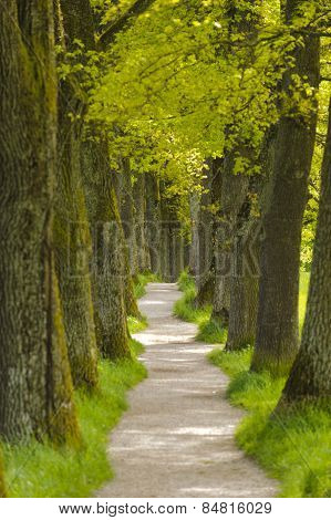 long tree alley with small foot path